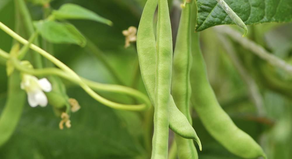 Болезни и вредители бобовых (фасоли, гороха) – фото, меры борьбы