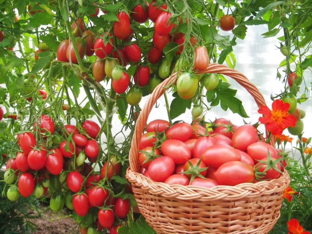 Лучшие сорта томатов по итогам текущего года