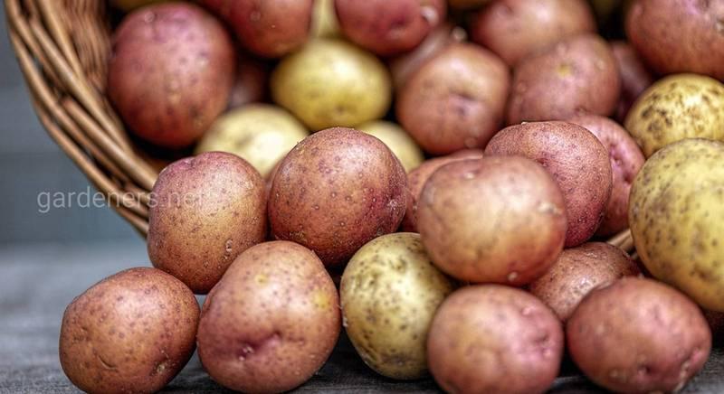 Как правильно отобрать картофель на семена и сохранить до весны