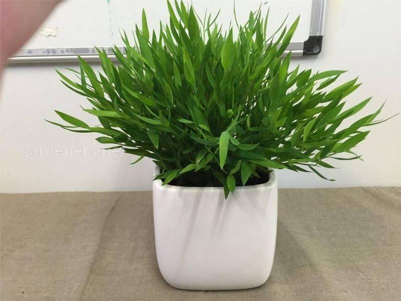 Погонатерум, як доглядати за рослиною вдома?