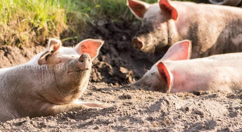 Выбираем мясную породу свиней