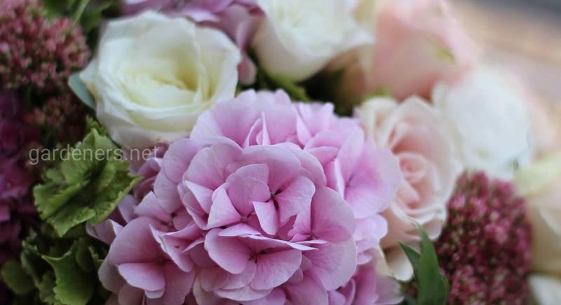 Гортензія - аристократична квітка у вашому саду