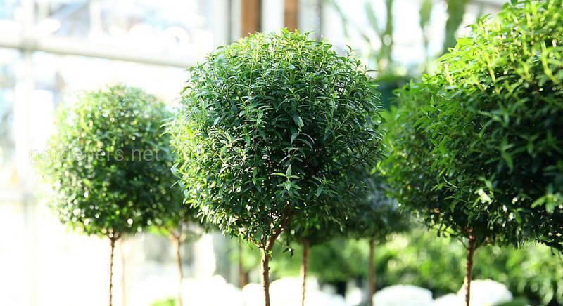 Вирощуємо миртове дерево в квартирних умовах