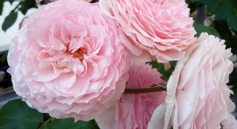 Суспензія хлорели для удобрення кімнатних та садових троянд