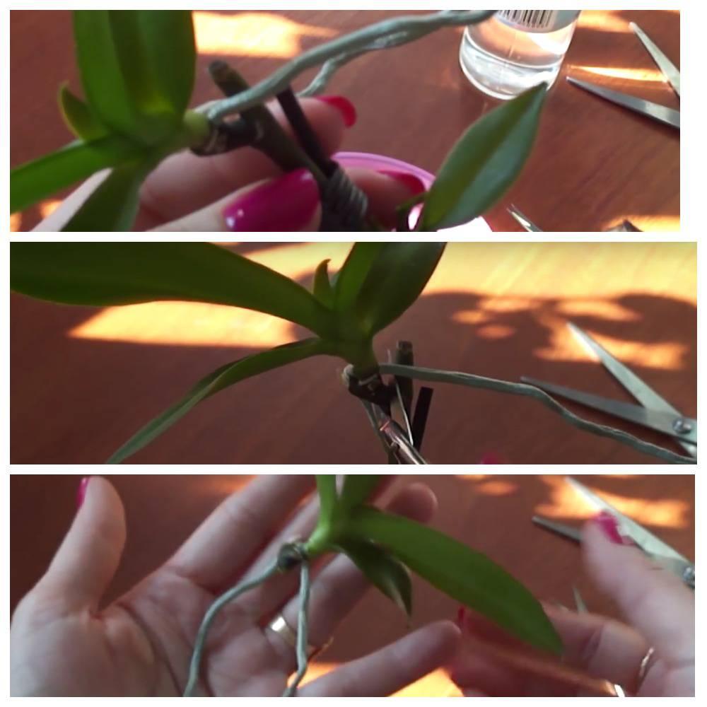 отделение деток орхидеи
