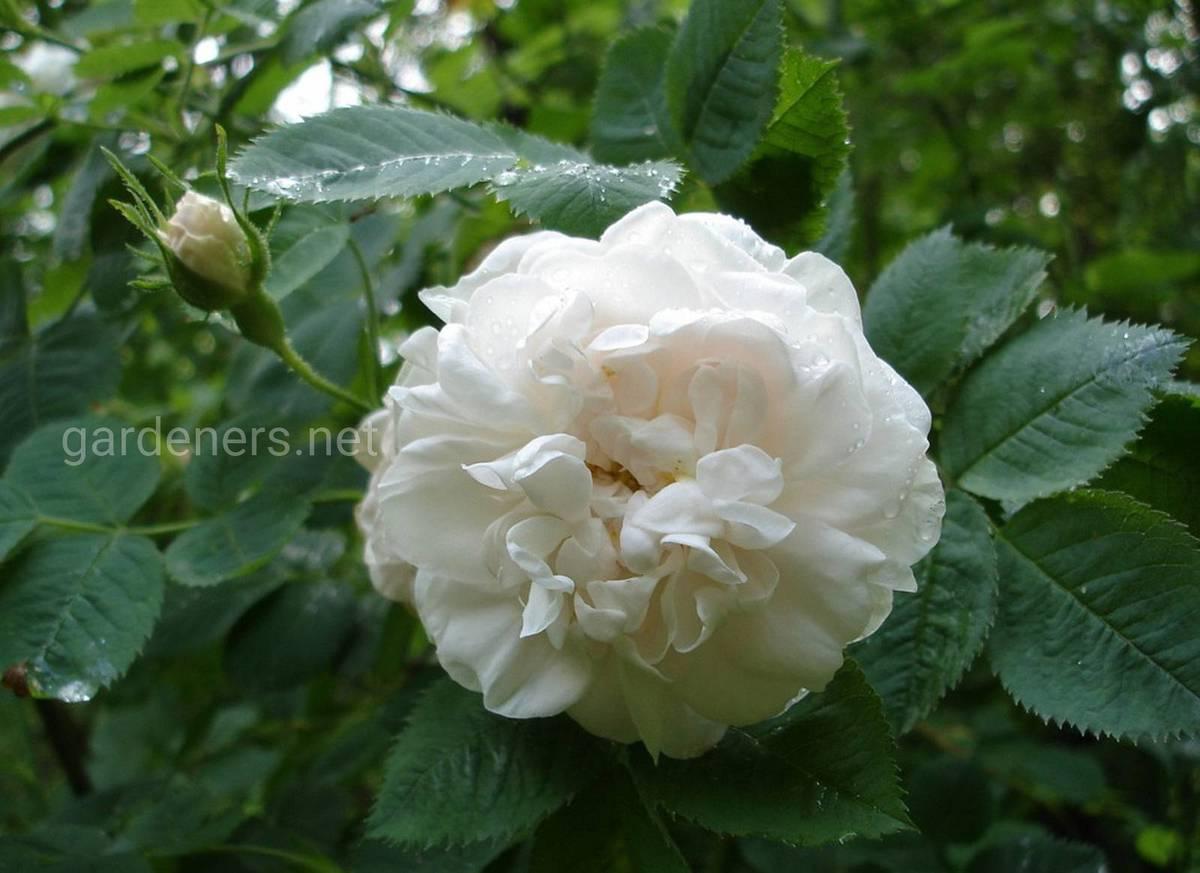 Роза Alba Maxima