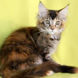 MURMISH-CAT