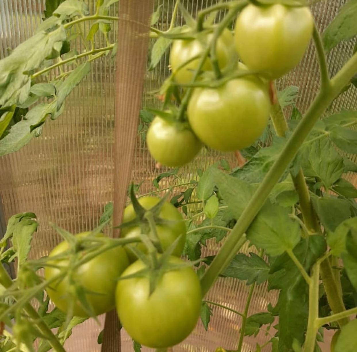 передвигается картинки сорта томатов продаже