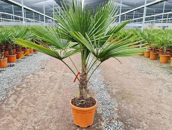 Trachycarpus Fortunei Palms
