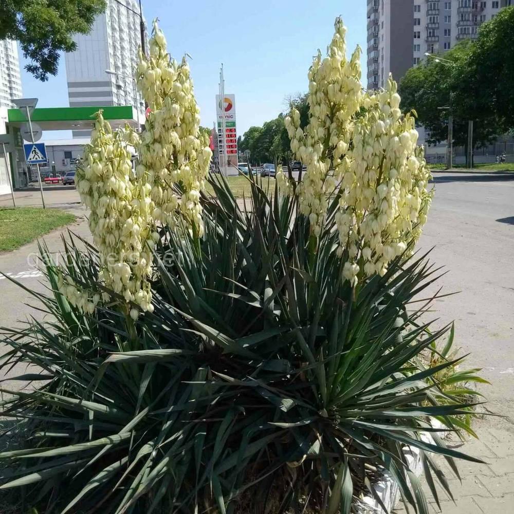 Внешне садовое насаждение схоже с пальмой, за что часто называется ложной пальмой.