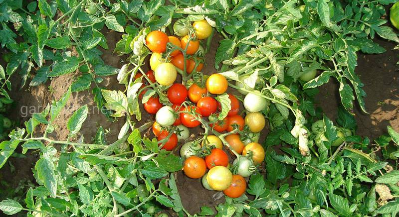 Томаты-гномы в открытом грунте: рекомендации по посадке и выращиванию