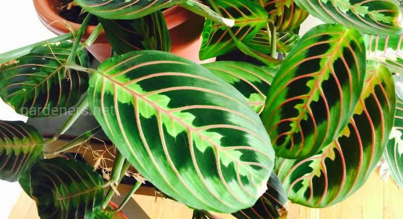 Маранта: різноманітність видів рослини що молиться