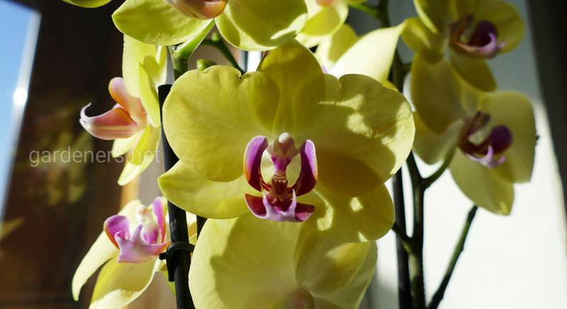 Орхидеи для начинающих: ТОП-8 советов, как добиться пышного цветения