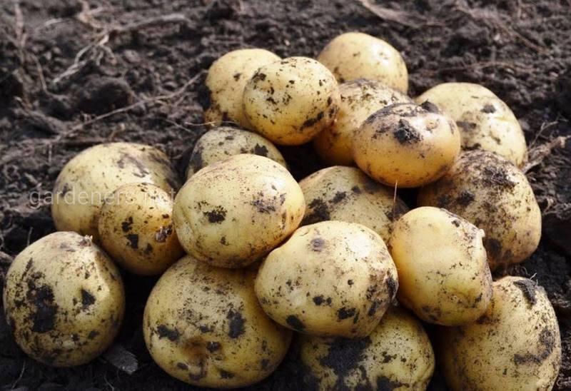 Як приготувати смачну і корисну картоплю на пару