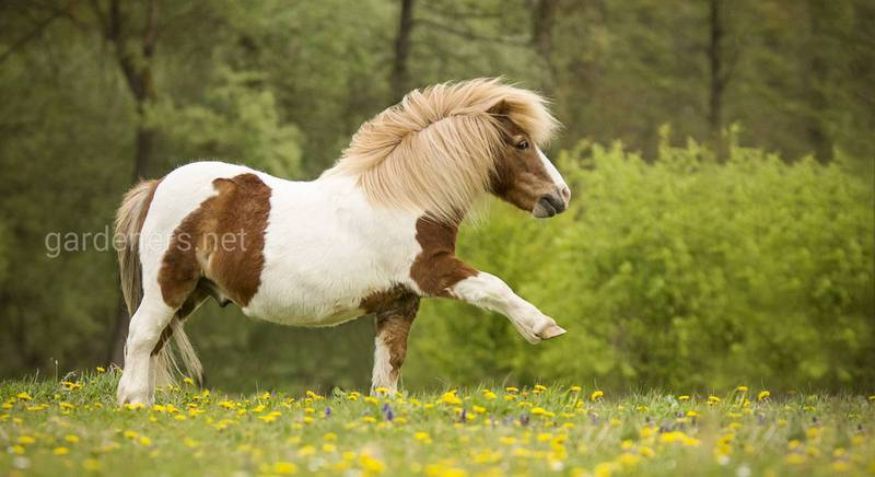 Карликовые лошадки