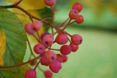 sorbus-alnifolia-berries.jpg