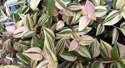 Традесканция: разнообразие сортов привлекательного пестрого растения