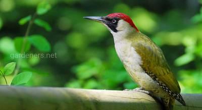 Птица Зеленый дятел