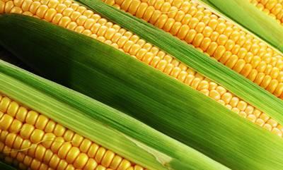 Кукуруза-Розинский-311-11.jpg