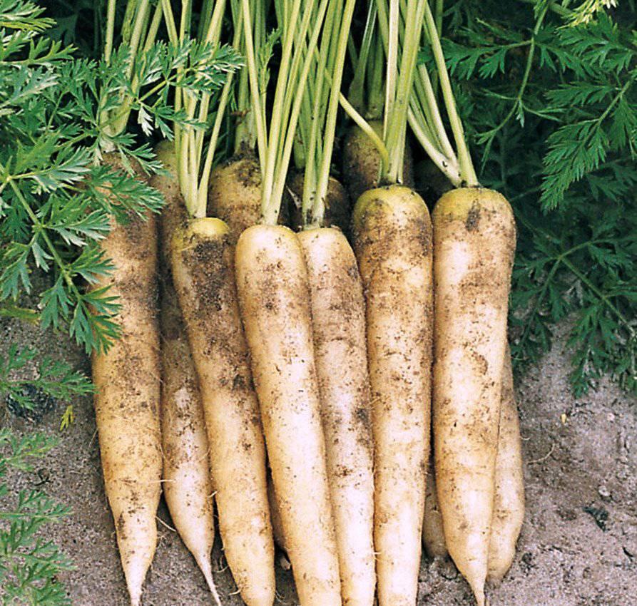 Сорт моркови White Satin