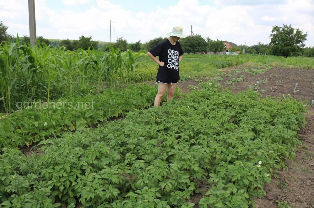 Картофель и крестоцветные культуры
