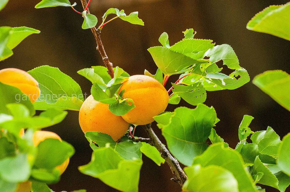 Что посадить рядом с абрикосом