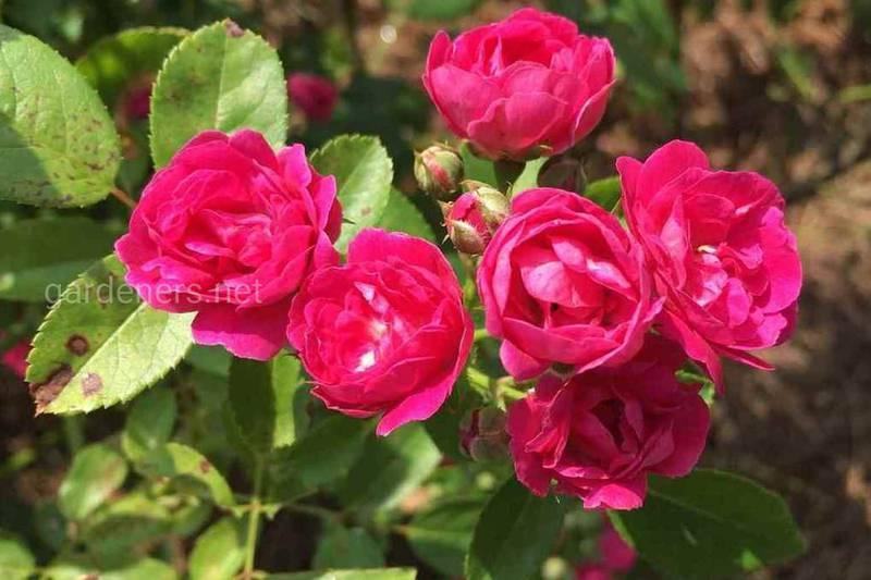 Як правильно прищеплювати та обрізати штамбові троянди?