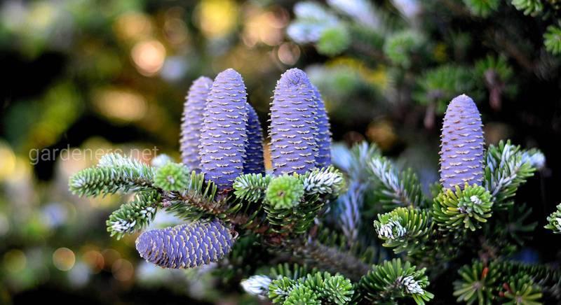 Ялиця корейська: посадка, догляд і розмноження дерева з дуже красивими шишками