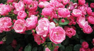 Сорта роз Кордес.jpg