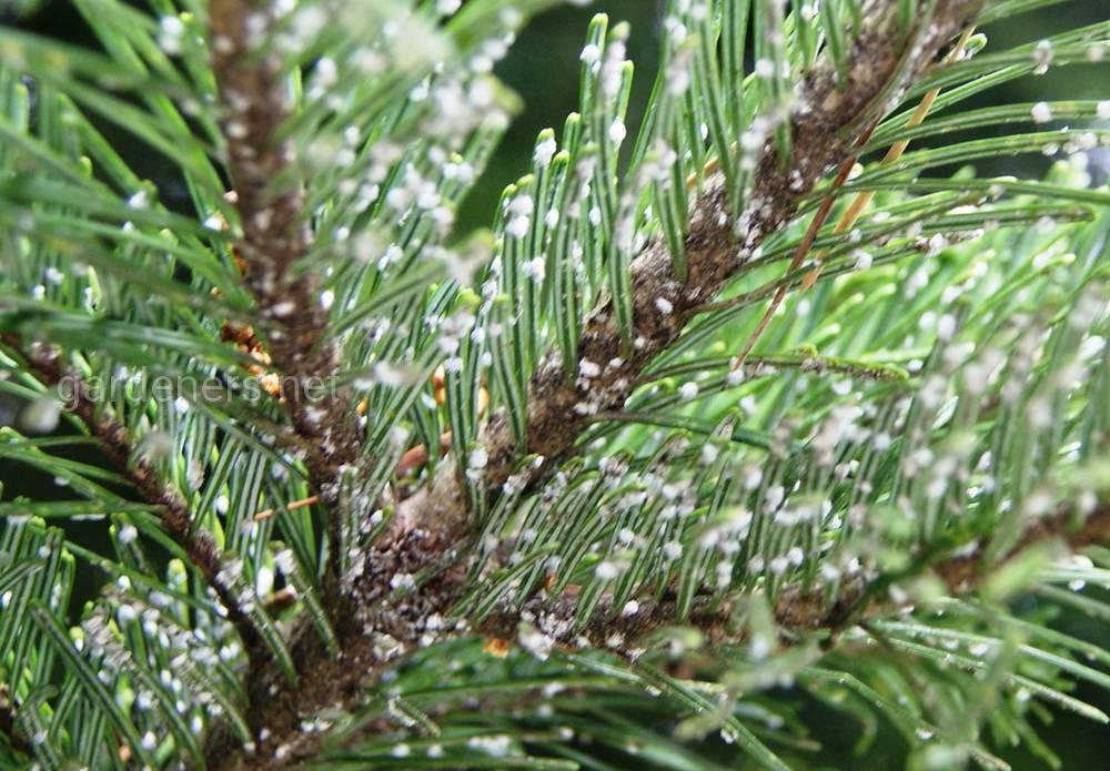 Елово-лиственная красная тля-хермес