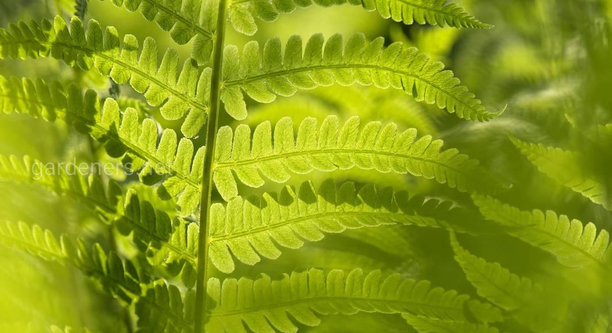 Как и где лучше посадить папоротник в саду?