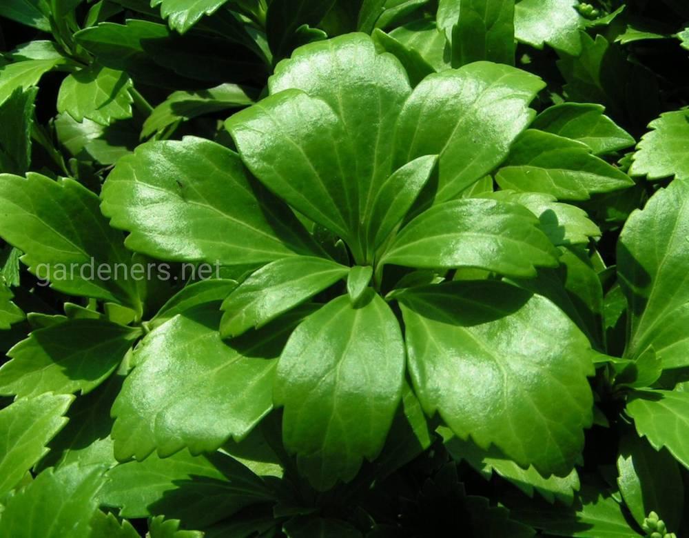 Пахизандра выращивание