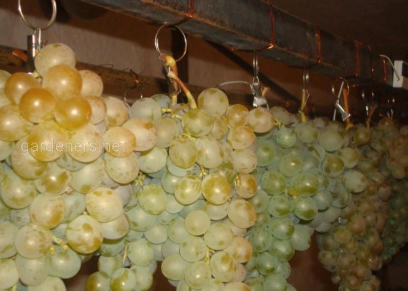 Хранение на проволоке  виноград