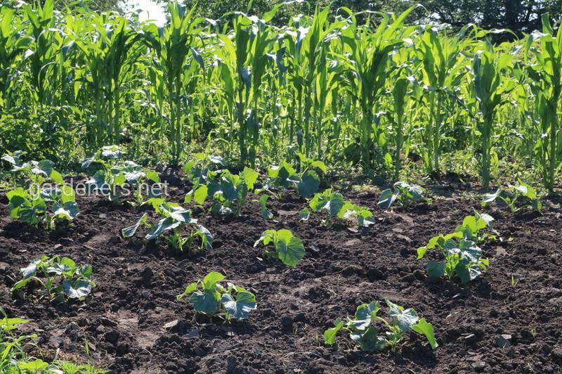 Какие ошибки могут допускать начинающие овощеводы?