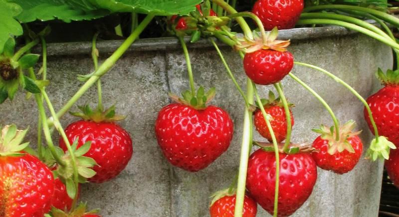 Клубника на подоконнике: выращиваем лучшие сорта