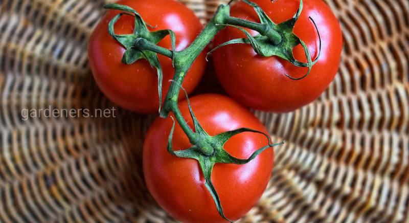Почему фрукты трескаются и как правильно поливать помидор?
