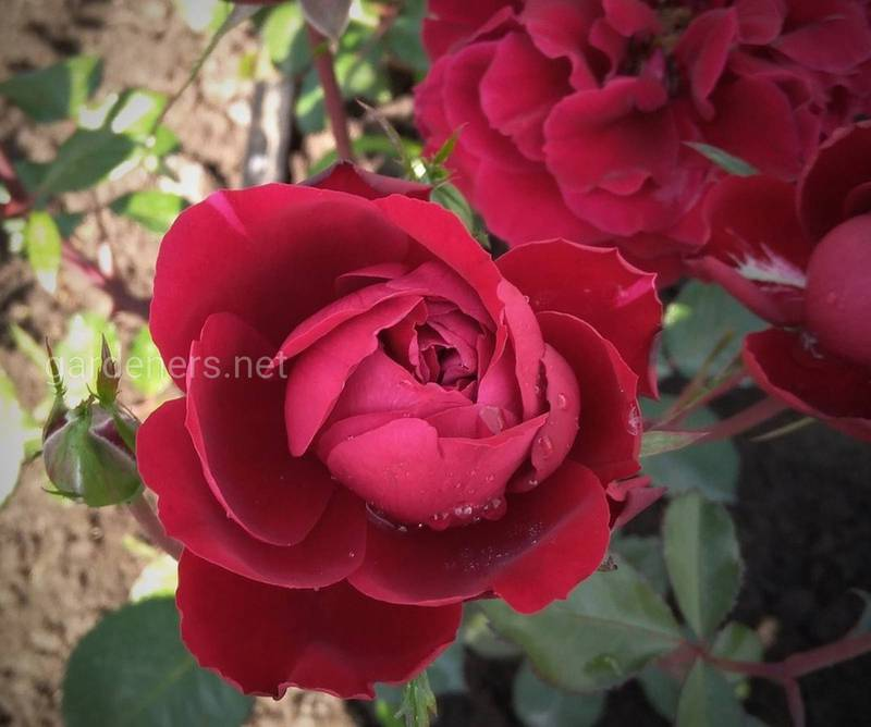 Як підготуватись до обрізки троянд?