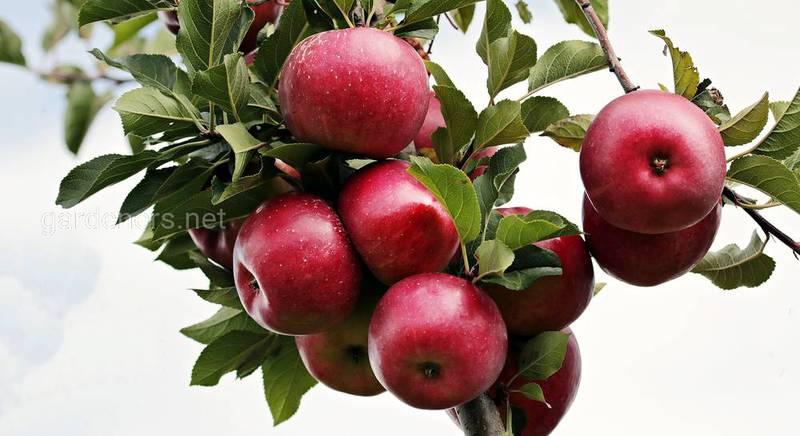Если яблоки некуда девать: ТОП-6 рецептов лучших заготовок