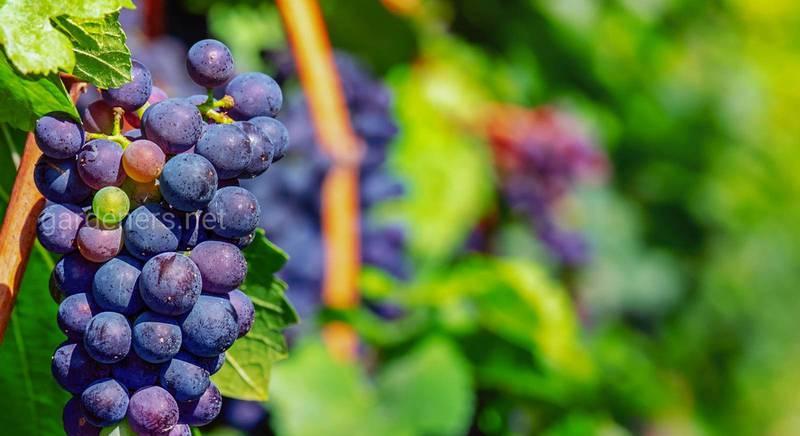 Виноробство — нескладні рецепти та просте приготування