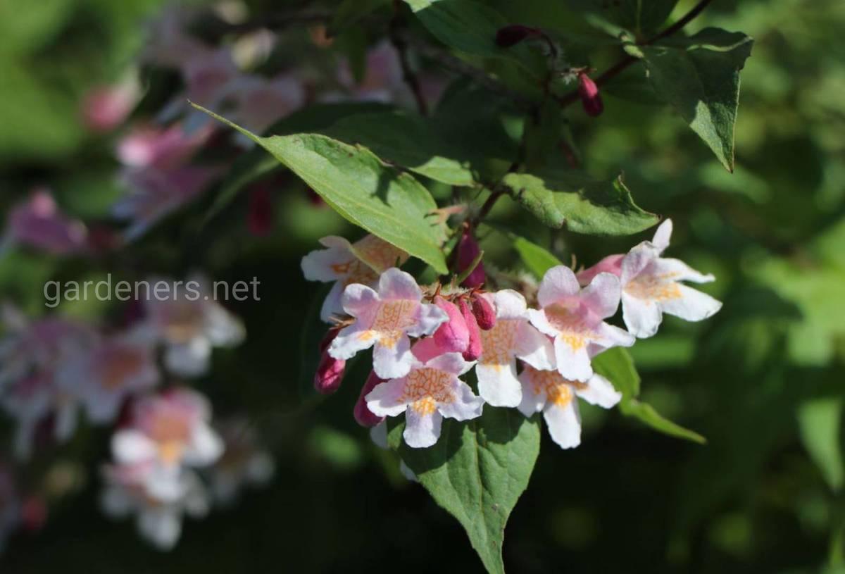 Kolkwitzia amabilis «Rosea»