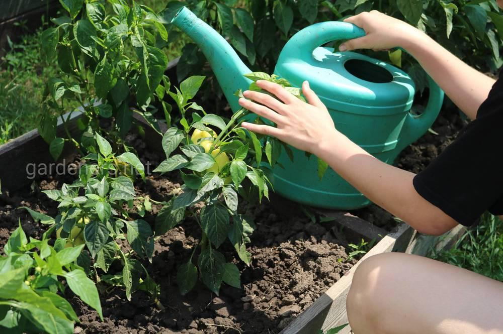 Що рекомендується садити в міжряддях перцю