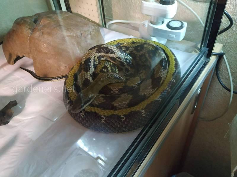 Змея Тонкохвостый полоз