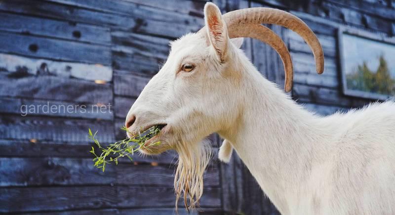 Чим годувати кіз при вирощуванні в домашніх умовах