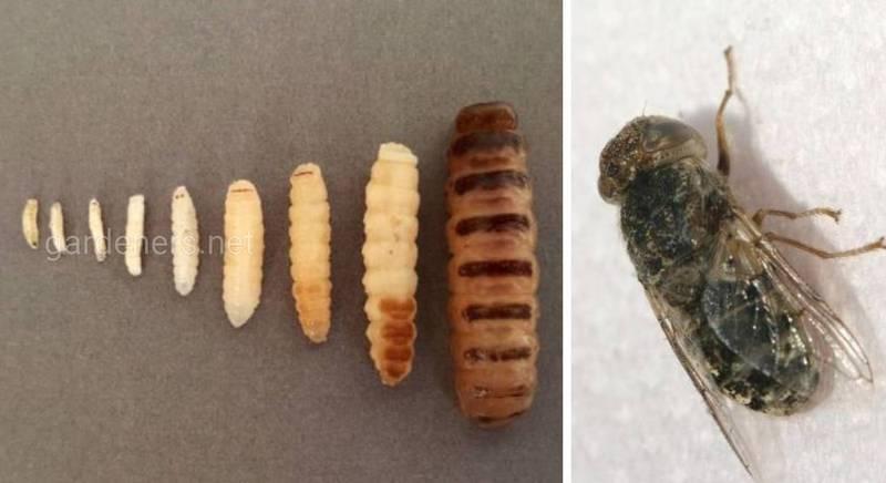 Овечий і російський оводи - живородні комахи, личинки яких можуть паразитувати у людини