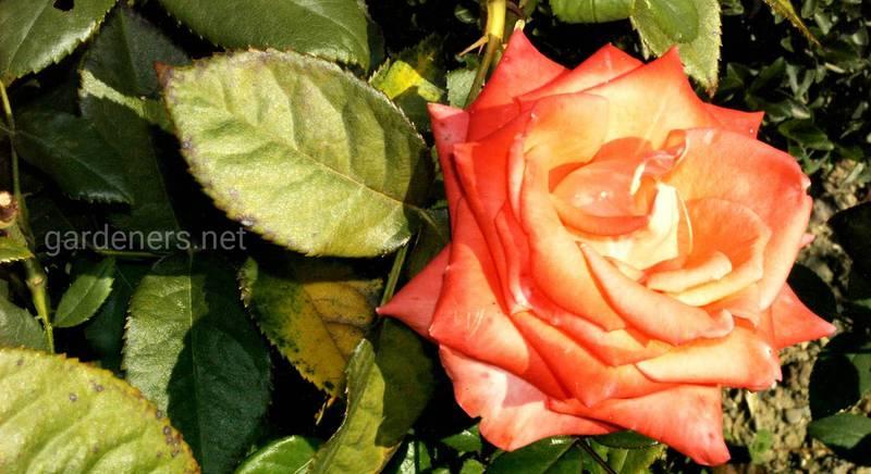 Размножение роз делением кустов