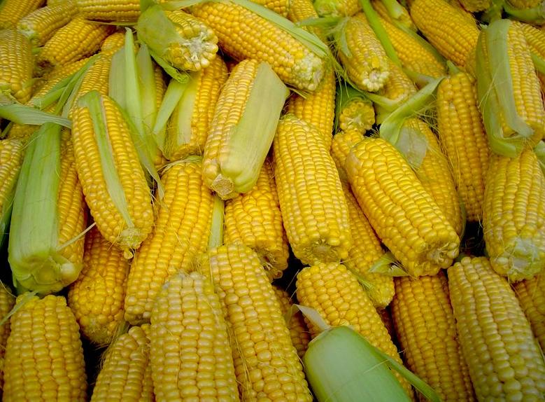 Як використовується кукурудза в годуванні худоби?