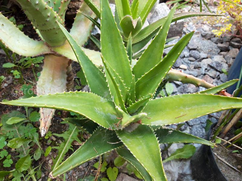Алое вера - декоративна рослина чи старовинний засіб?