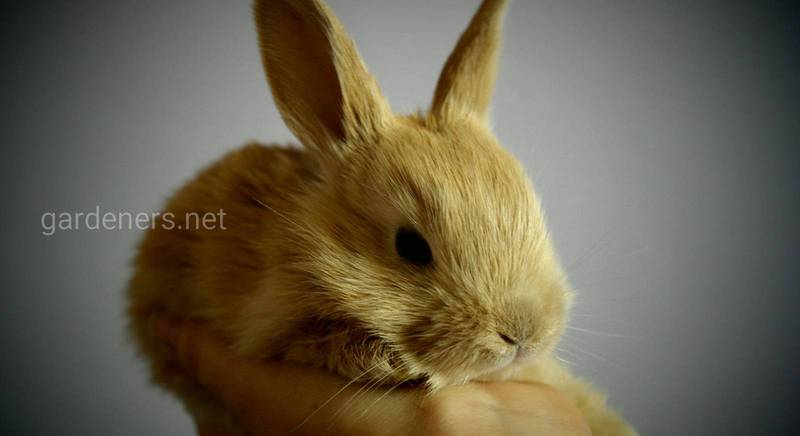 Подробно: как подстричь когти декоративному кролику
