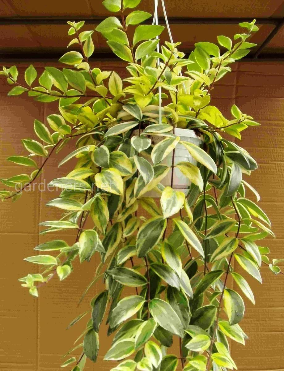 Aeschynanthus radicans 'Variegata'