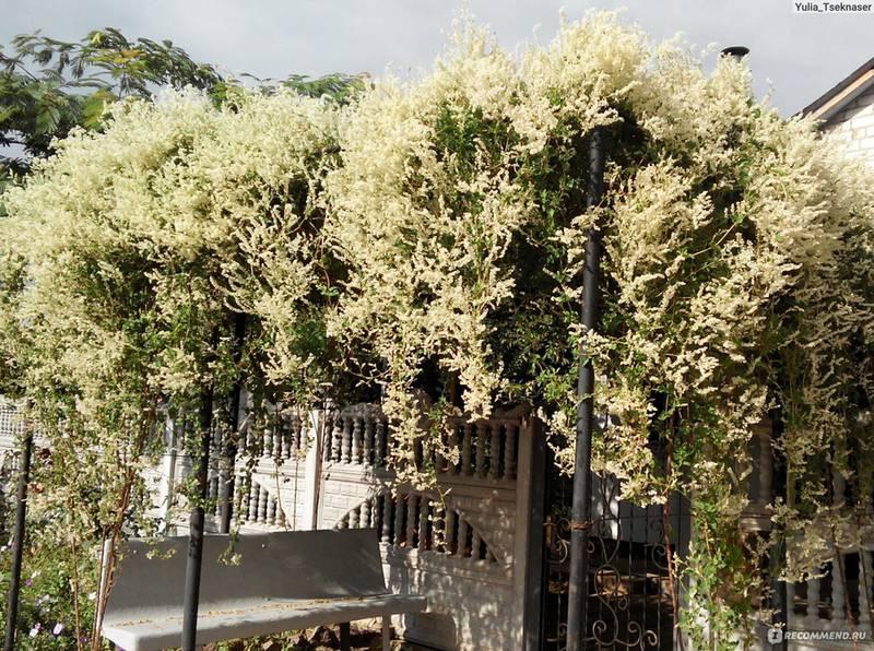 Горец японский - растение, которое предотвращает эрозию почвы!